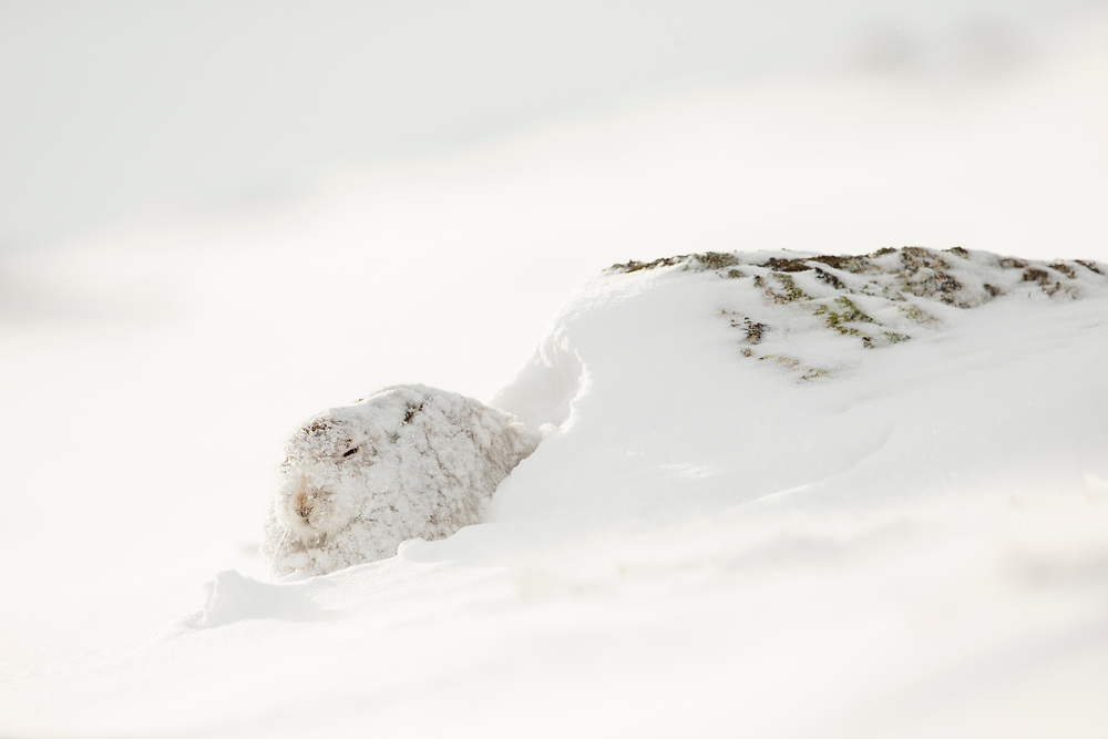 Mountain Hare (Lepus timidus) in white winter coat camouflaged in snow, Scotland