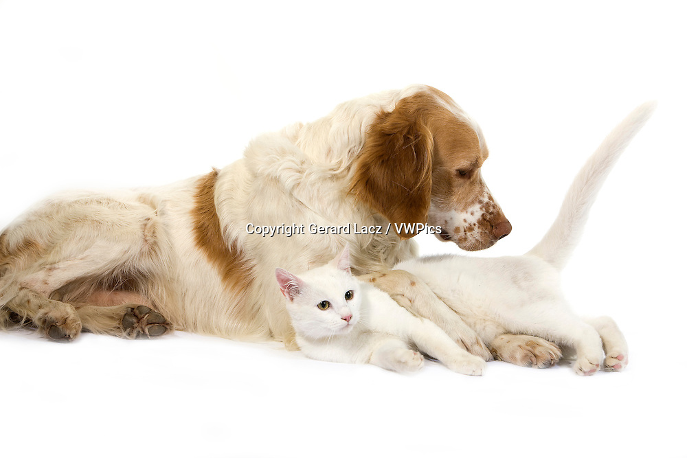 French Spaniel Male (Cinnamon Color) with White Domestic Cat laying against White Background