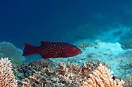Indian Coral Grouper, Plectropomus pessuliferus, Oken, 1817, Maldives