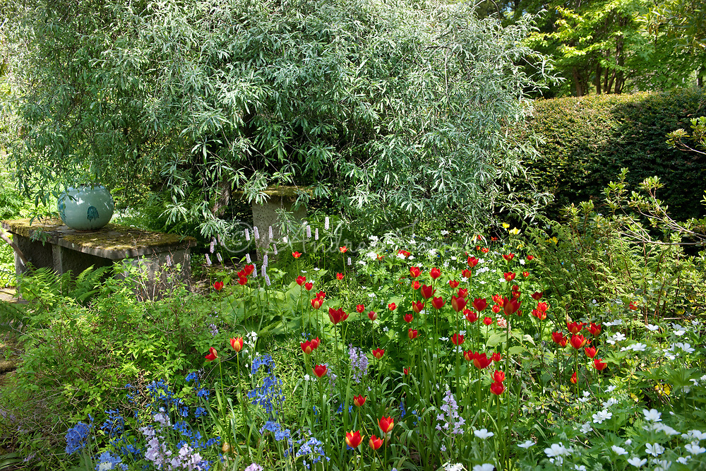 Pyrus salicifolia 'Pendula' (Weeping pear tree) with Tulipa sprengeri and Hyacinthoides non-scripta (bluebell) at Dundonnell House & Garden, Wester Ross, Scotland