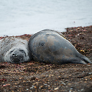 A pair of Southern Elephant Seals lies on the beach of Livingston Island in the South Shetland Islands, Antarctica.