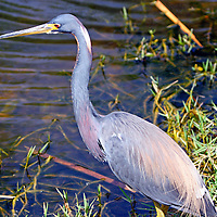 Tricolored Heron in breeding plumage, Everglades National Park, Florida, USA