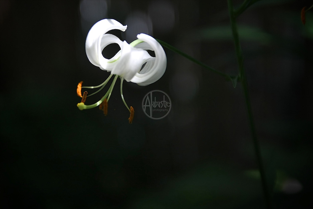 Flowers at home, July 2012. White Turk's Cap Lily.