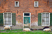 Nederland, Megen, 25-5-2018Een oude boerderij staat leeg en is dicht getimmerd . Het boerenbedrijf wat hier uitgeoefend werd is gestopt . Schapen lopen voor het huis en liggen tegen de gevel .Foto: Flip Franssen