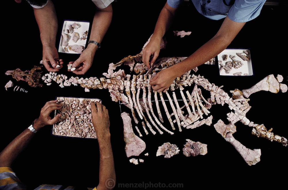 Paleontologists reconstruct the skeleton of a plesiosaur from fossil remain. The pinkish color of the 'bones' shows that they have been opalized, the original bone material replaced with opal (hydrous silicon oxide) to form the permanent fossil. The fossil is about 120 million years old, and was found at Coober Pedy in Australia. The plesiosaur was a marine carnivorous dinosaur, which thrived, in the mid to late Cretaceous Period. Photographed at the Sydney Museum, Australia.  [1989]