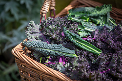 Basket of mixed varieties of harvested kale including 'Cavolo Nero' and 'Red Bor'. Brassica oleracea