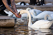 A man feeds swans at Lake Eola Park in Orlando, Florida. Lake Eola Park is located in the heart of Downtown Orlando and home to the Walt Disney Amphitheater.