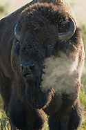 The stolid behavior of the bison can be very deceptive. During the rut, bulls which appear for most of the year to have a passive demeanor, become quite combative. These bulls, will now bellow, snort, paw the ground, roll in wallows, chase and ultimately fight their competitors for the right to tend cows in the herd.