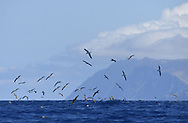 Cory's Shearwater - Calonectris diomedea<br /> Desertas Islands, Madeira