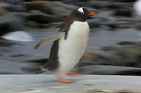 An adult Gentoo Penguin (Pygoscelis papua) running on Pleneau Island.