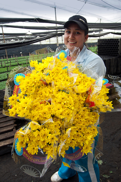 Inside of a greenhouse a flower farm worker carries bouquets of Chrysantemums that will be shipped all over the world.  Colombia is one of the world's biggest exporters of cut flowers because of its year round spring like temperatures.