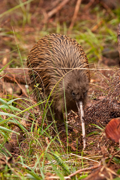 Stewart Island Kiwi, New Zealand
