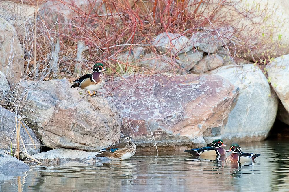 Wood Ducks, Aix sponsa, Washoe County, Nevada
