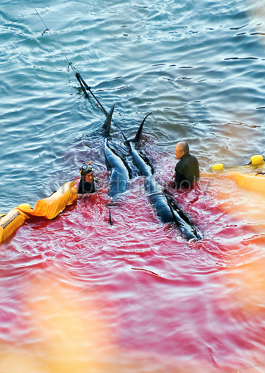 """Fisheries workers guide what appear to be pilot whales, which are members of the dolphin family, at a cove in Taiji, Japan on 10 September  2009. Under increasing international pressure following the release of a film documenting the capture and slaughter of dolphins in the town the  fishermen now conceal their work from the public by fixing tarpaulin across the so-called """"killer cove."""" Photographer: Robert Gilhooly"""