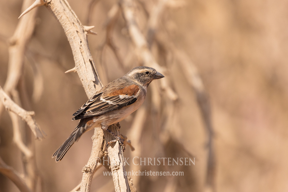 A female cape sparrow perches on the twigs of a dry tree, Namib-Naukluft National Park, Namibia.