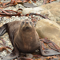 A large male New Zealand Fur Seal (Arctocephalus forsteri) outside of Kaikoura, NZ.