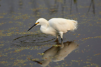 Snowy Egret, (Egretta thula) hunting in shallows, Wakodahatchee Wetlands, Delray Beach, Florida, USA Photo: Peter Llewellyn