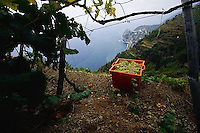 2000, Manarola, Italy --- Harvested Grapes --- Image by © Owen Franken/CORBIS