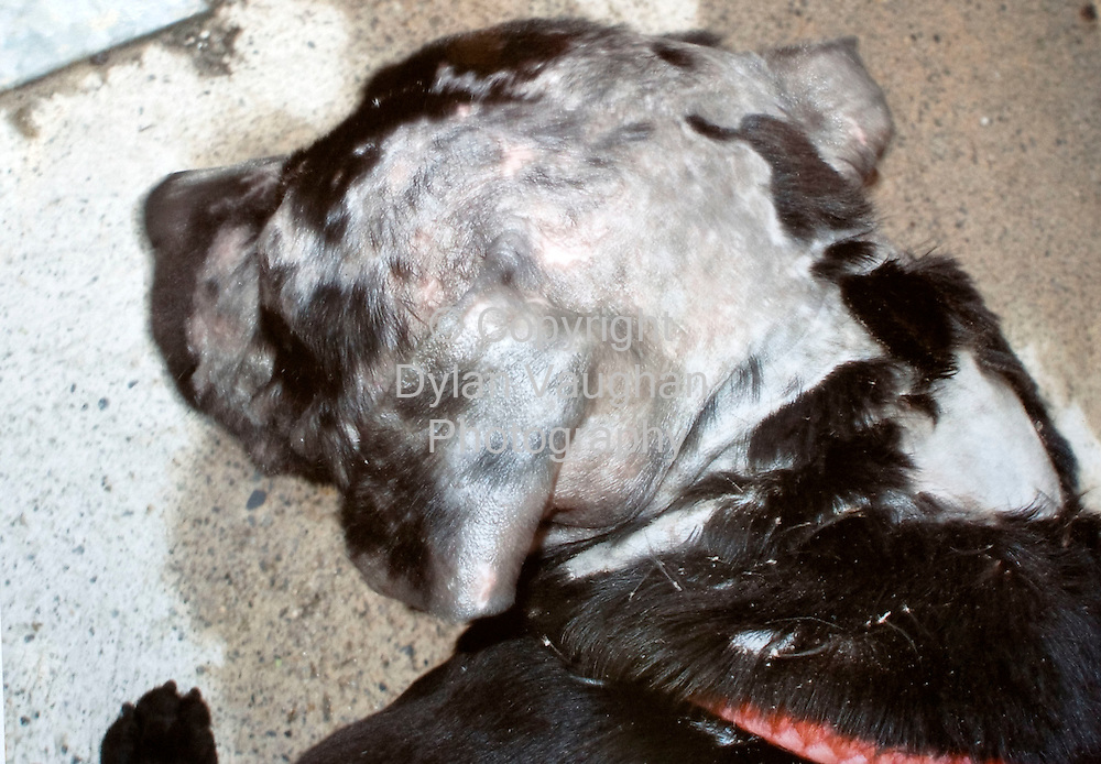 12/11/2008.The dog the was found in Gary Griffin's car showing the hair loss 10 days after it was found..Picture Dylan Vaughan..