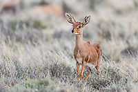 Femlae Steenbok alert with ears pointed forward, Camdaboo National Park, Eastern Cape, South Africa