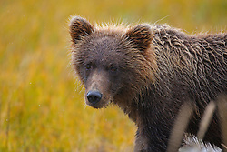 Detailed view of a North American brown bear /  coastal grizzly bear (Ursus arctos horribilis) standing in a field, Lake Clark National Park, Alaska, United States of America