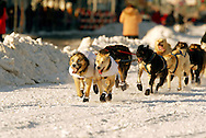 3/3/2007:  Anchorage Alaska -  The lead dogs of Rookie Bruce Linton of Morrisville, VT head down 4th Avenue in Anchorage during the Ceremonial Start of the 35th Iditarod Sled Dog Race