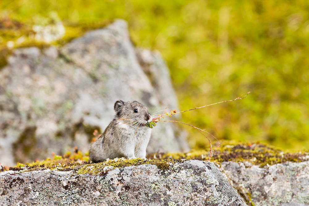 Collared Pika (Ochotona collaris) foraging among talus boulders for food to store for the upcoming winter in Summit Lake Recreation Area at Hatcher Pass in Southcentral Alaska. Summer. Afternoon.