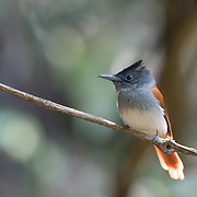 Female Oriental paradise flycatcher, also called the Blyth's paradise flycatcher, (Terpsiphone affinis) is a species of bird in the family Monarchidae. It is found from southern China to Sumatra and Melanesia. Until 2015, it was considered a subspecies of the Asian paradise flycatcher.