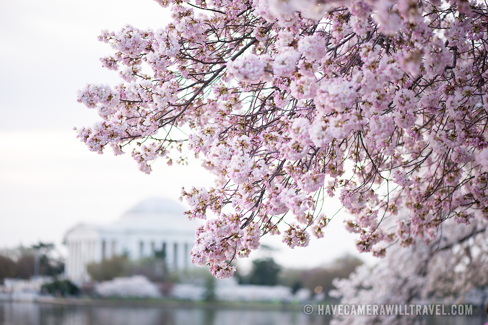 Washington DC's cherry blossoms in full bloom around the Tidal Basin. Some of the oldest trees are now over a century old. The Jefferson Memorial is in the background.