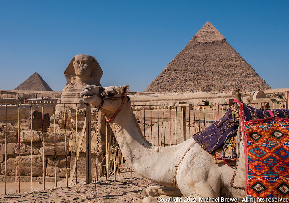 Close-up of a white camel with beautiful, colored blankets, 2 pyramids and the Sphinx in Giza, Egypt.