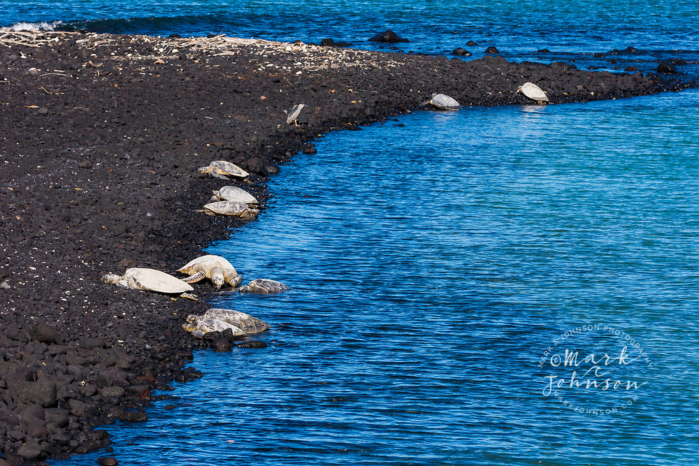 A group of beached green sea turtles resting at Kiholo Bay, Big Island (Hawaii Island), Hawaii