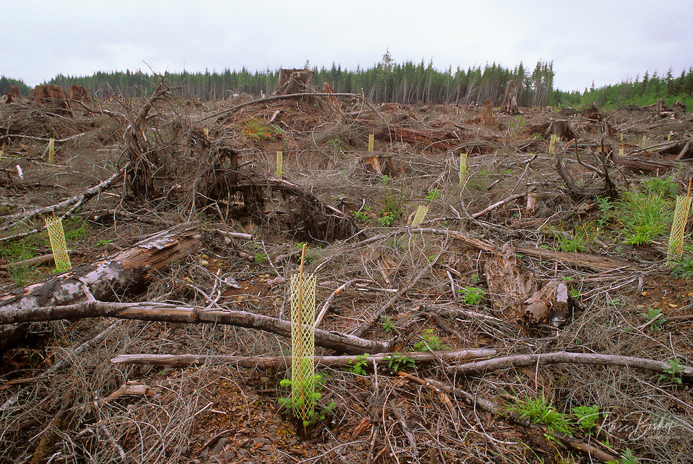 Sitka spruce seeding in a clear cut forest adjacent to Olympic National Park, Olympic Peninsula, Washington