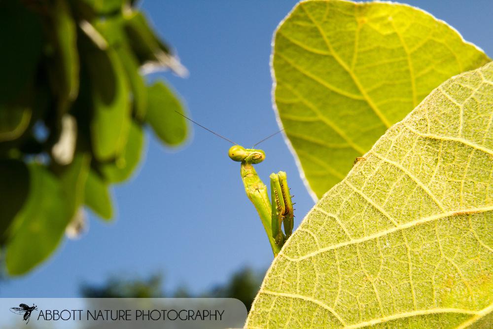 Mantis (Stagmomantis sp.) - female<br /> TEXAS: Cameron Co.<br /> Resacca De La Palma State Park<br /> 9-Nov-2014<br /> J.C. Abbott &amp; K.K. Abbott