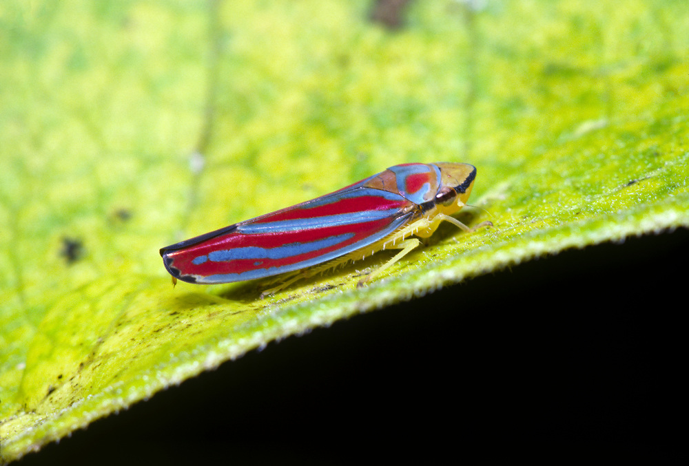 Scarlet-and-green leafhopper (Graphocephala coccinea) feeding on a milkweed leaf