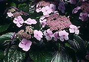 lacecap hydrangea flower; hydrangea macro phylla cv. Tokyo delight, lavender