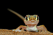 Wuestengecko (Palmatogecko rangei) auf Sand Duene in der Namib Wueste bei Luederitz | Web-footed gecko Gecko (Palmatogecko rangei) on sand dune in the Namib Desert by Luederitz Namibia; shot digital: 14,03inch x 9,317inch at 300 Pixel\inch