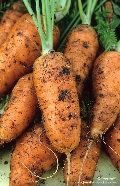 Carrot 'Parabell'. Daucus carota