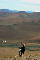 mongolsk geit med lange horn, mongolian goat with long horns