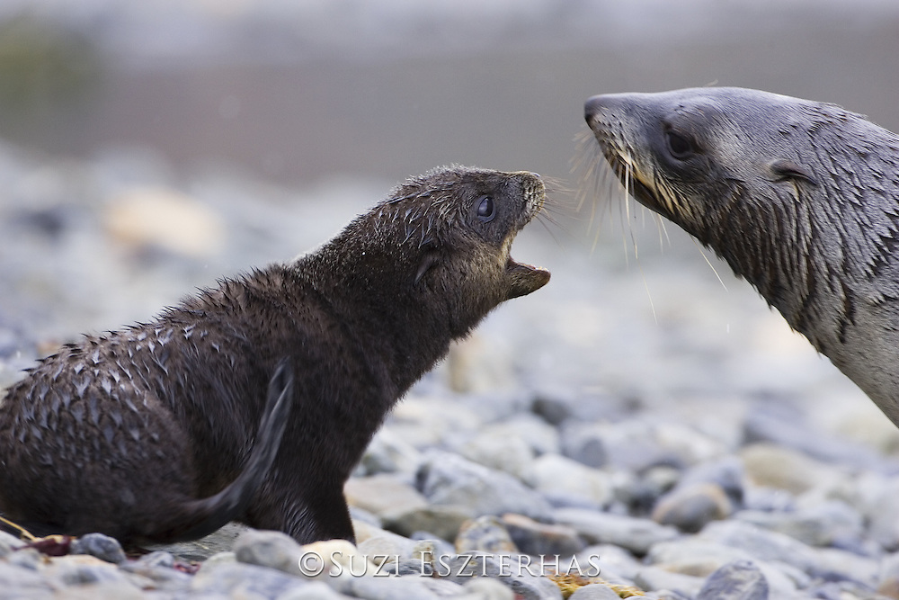 South American Fur Seal<br /> Arctocephalus australis<br /> Mother and 1-2 week old pup touching noses<br /> Grytviken, South Georgia