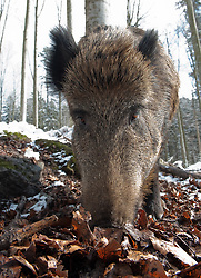 Wroetend wild zwijn in sneeuw; Feeding Wild boar in snow