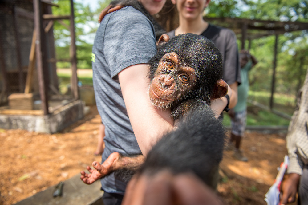 Young female student holds chimpanzee (Pan troglodytes) who reaches for camera. Ganta LiberiaYoung female student holds chimpanzee (Pan troglodytes) who reaches for camera. Ganta Liberia