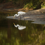 Great Egret fishes for dinner.