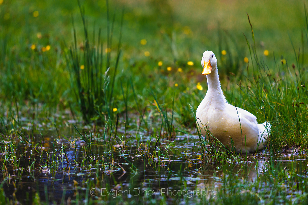 White duck by the lake