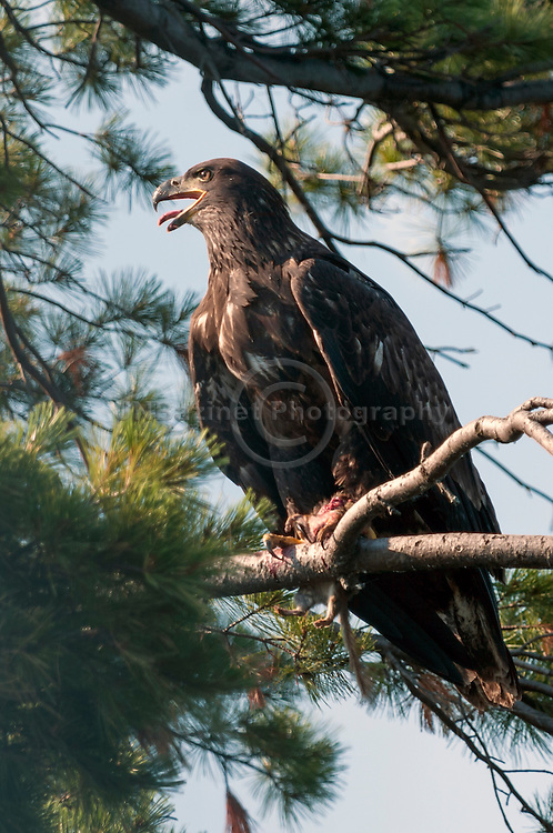 A young american bald eagle with prey