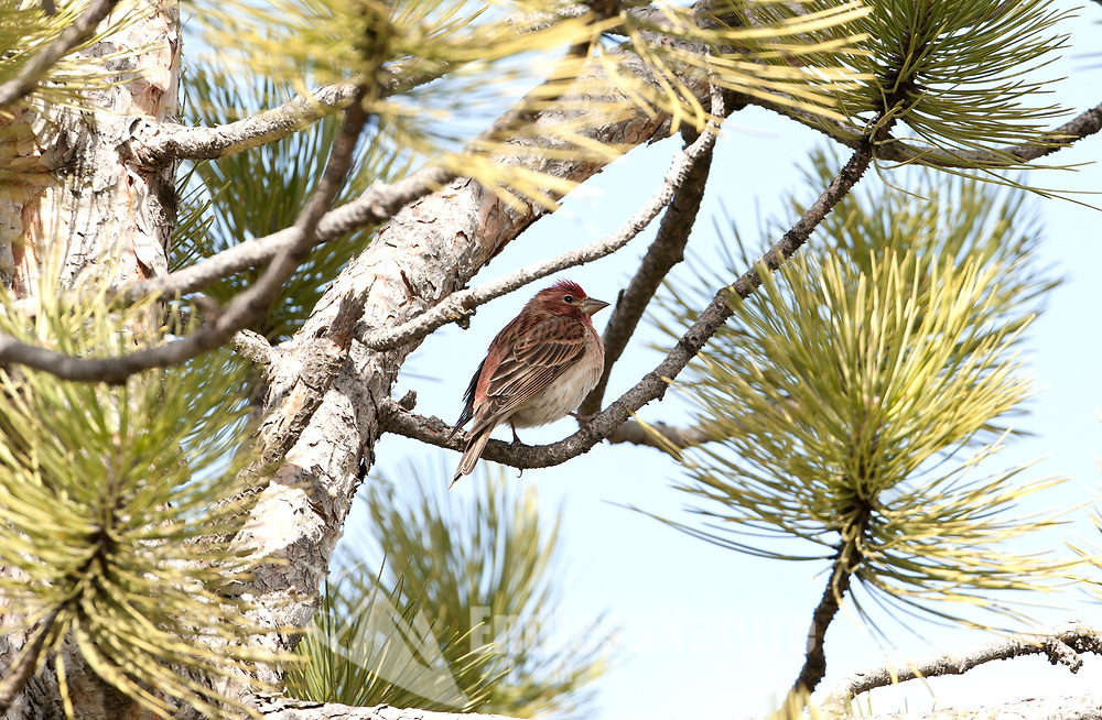 A male House Finch in the month of March rests in a pine tree after chasing a female from branch to branch.