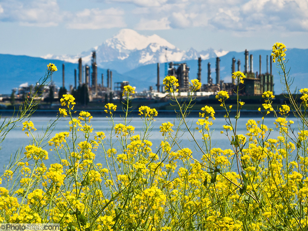 "Mount Baker (10,775 feet elevation) rises behind an oil refinery and yellow flowers at sea level in Anacortes, on Fidalgo Island in Skagit County, Washington, USA. Anacortes is known for its Washington State Ferries terminal serving San Juan Islands, Guemes Island, and Victoria via Sidney, British Columbia. ""Anacortes"" is a consolidation of the name Anna Curtis, who was the wife of early Fidalgo Island settler Amos Bowman."