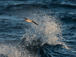 Northern Fulmar (Fulmarus glacialis) in flight north of Spitsbergen, Svalbard