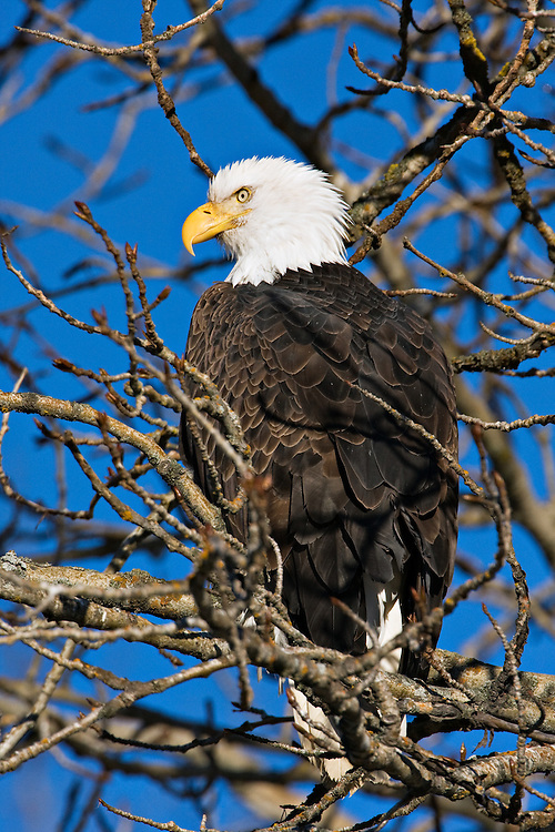 Bald eagle perched in tree in Chilkat Bald Eagle Preserve near Haines, Alaska. Southeast. Winter.  Morning.