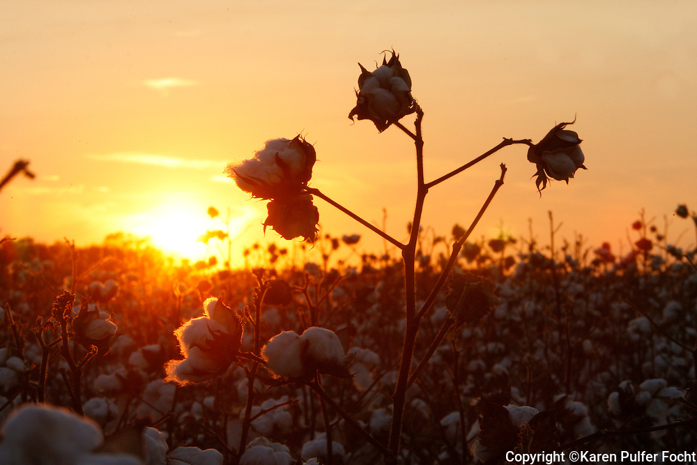 Cotton blooming in the fields in the Mississippi Delta.
