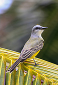 Tyrant Flycatchers, Shrikes Gnatcatchers
